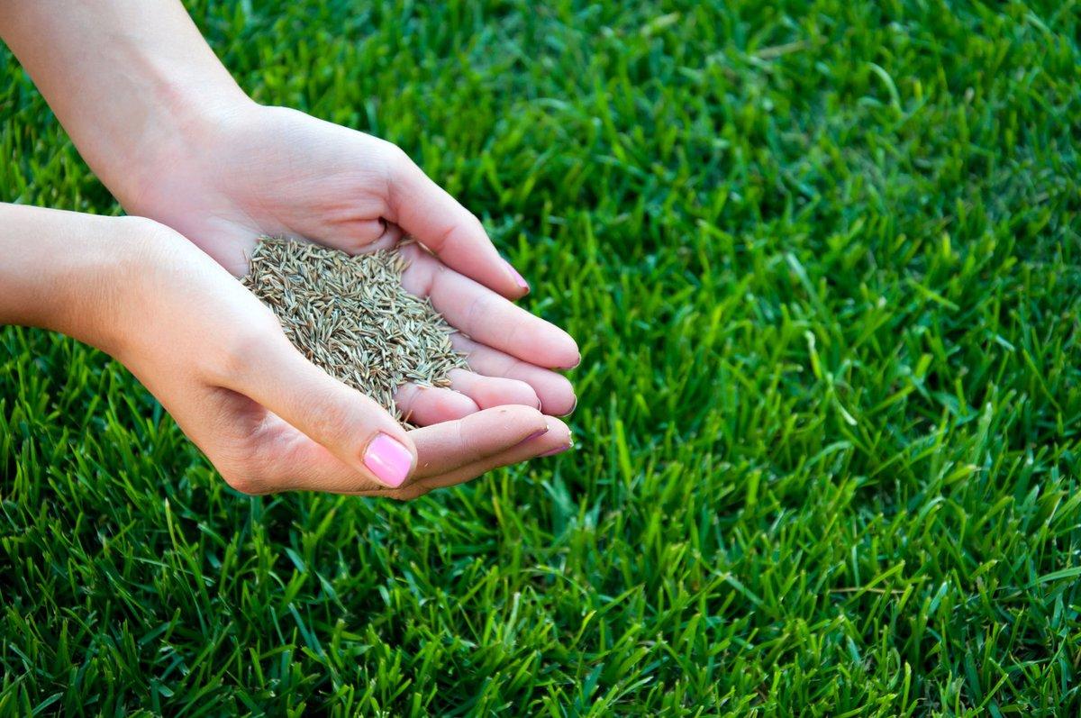 Чем отличается рулонный газон от посевного?